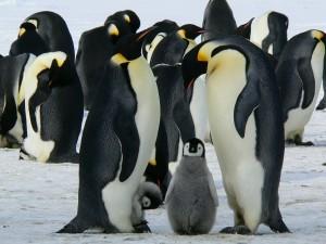 Babypinguin Pixabay penguins-429128_1280 20190405